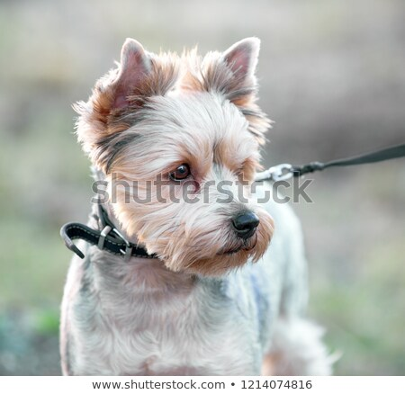 A detailed portrait of Yorkshire Terrier.   Stock photo © frank11
