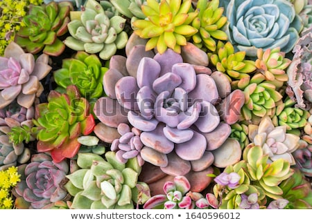 Blooming succulent Stock photo © Coffeechocolates