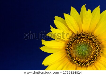 girassóis · blue · sky · decorativo · vetor · verão · projeto - foto stock © silvek