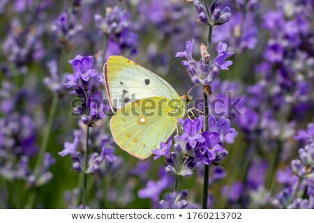 A Colias butterfly on a purple meadow flower stock photo © AlessandroZocc