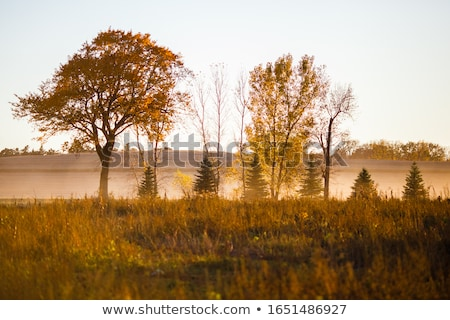 Autumn Stand of Trees Blazing Yellow Autumn Fall Color Stock photo © cboswell