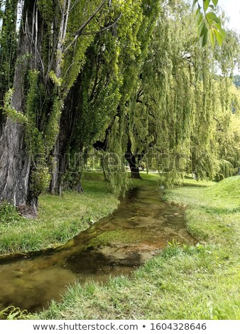 Willow And Stream Stock photo © derocz