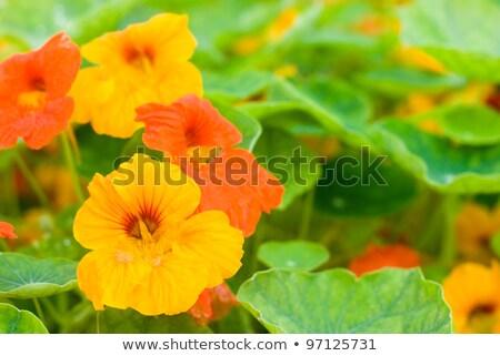 orange nasturtium flower stock photo © stocker