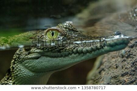 Krokodyle oczy powyżej wody akwarium zielone Zdjęcia stock © IMaster