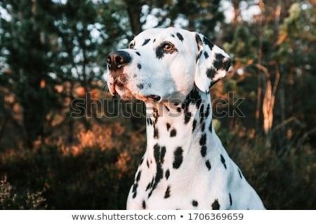 Dalmata kutya fehér fekete férfi díszállat Stock fotó © cynoclub