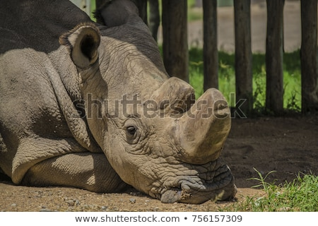 Stock photo: white rhino with young