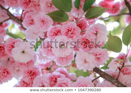 blooming double cherry blossom stock photo © shihina