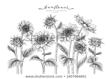 Schets zonnebloem vector vintage eps 10 Stockfoto © kali