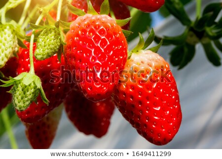 Ripe sweet strawberries, grown on green vine Stock photo © mlyman