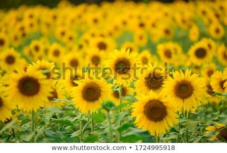 Foto stock: Amarelo · campo · girassóis · verão · dia · flor
