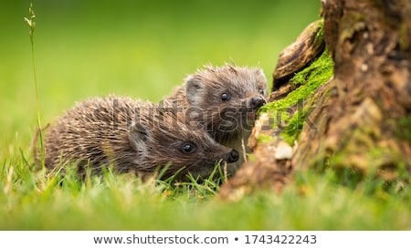 northern white breasted hedgehog Stock photo © taviphoto