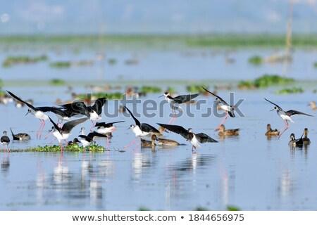 мужчины · утки · крыльями · воды · пруд · трава - Сток-фото © chris2766