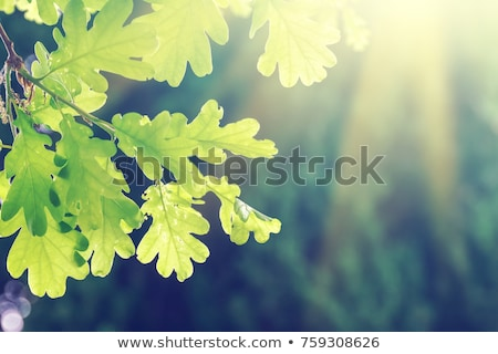 green oak leaves stock photo © artjazz