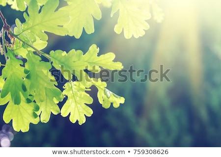 Foto stock: Green Oak Leaves