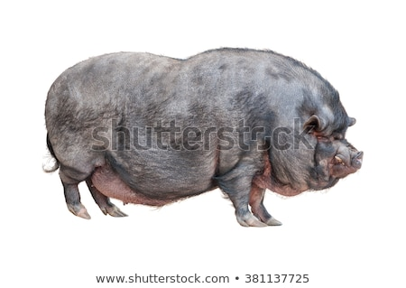 Vietnamese Pot-bellied pig cutout stock photo © DragonEye