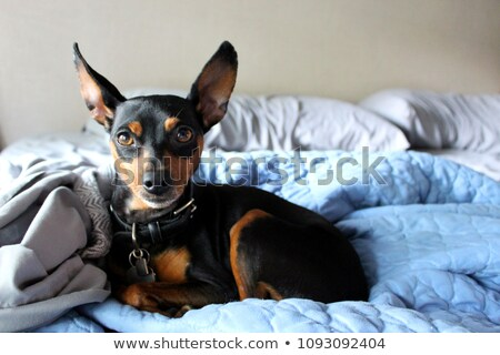 photo of young miniature pinscher stock photo © massonforstock