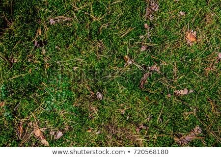 çam koni yosun yeşil orman Stok fotoğraf © romvo