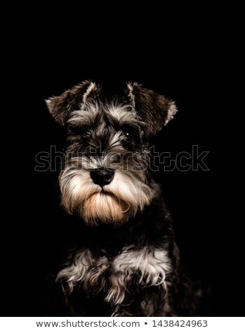 Strong schnauzer portrait in a black background Stock photo © vauvau