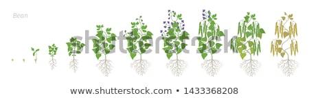 bean plant growing stock photo © lienkie