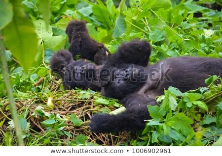 Sleeping Mountain gorilla. stock photo © simoneeman