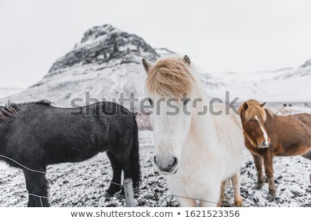 Herd of Icelandic horses in winter landscape stock photo © kb-photodesign