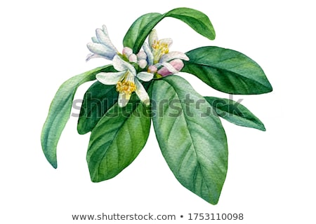 Tangerine in bloom. Stock photo © Fisher