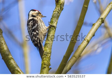 Lesser pied woodpecker (Dryobates minor) Stock photo © Rosemarie_Kappler