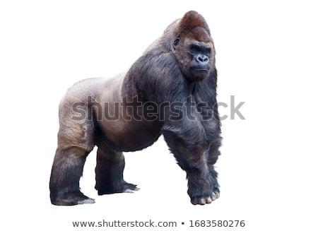 Aranyos gorilla fehér illusztráció mosoly művészet Stock fotó © bluering