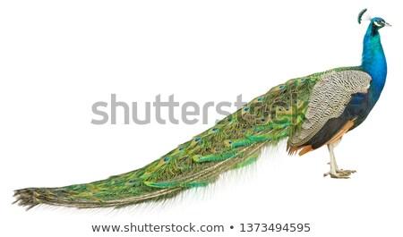 Closeup shot of big adult peacock Stock photo © Nobilior