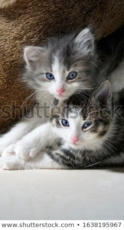 Funny aburrido gris gato ojos azules blanco Foto stock © feedough
