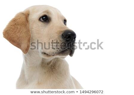 Haletant labrador côté permanent Photo stock © feedough