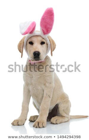 cute golden retriever wearing easter bunny costume looks to side stock photo © feedough
