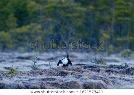 Stock fotó: Black Grouse Cock In Mating Season