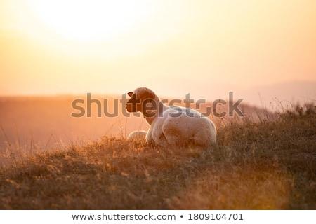 ストックフォト: 白 · 羊 · 日没 · 美しい · 光 · 徒歩