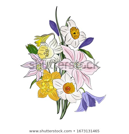 Daffodil spring flowers Vector realistic. Delicate narcissus bouquet illustrations Stock photo © frimufilms