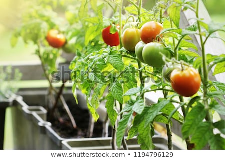 Container vegetables gardening. Vegetable garden on a terrace. Herbs, tomatoes growing in container Stock photo © Virgin