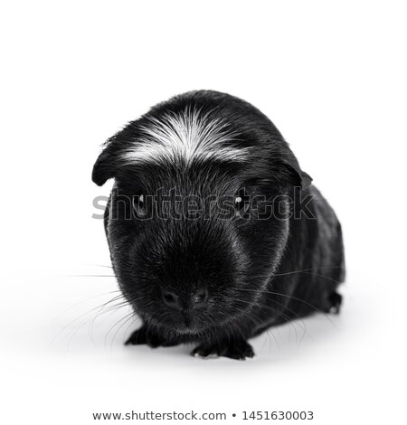 Black white crested guinea pig on white Stock photo © CatchyImages