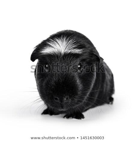 морская · свинка · студию · белый · красный · животного · ПЭТ - Сток-фото © catchyimages