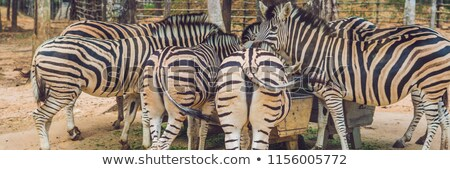 zebras eat green grass in safari park banner long format stock photo © galitskaya