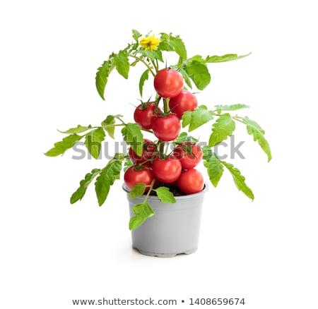 Amarelo tomates flores planta arbusto Foto stock © sarahdoow