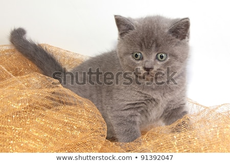 Christmas themed British Shorthair cat on white Stock photo © CatchyImages