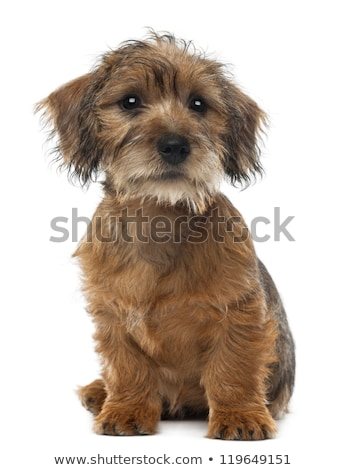 Studio shot of three cute Mixed breed dog puppy Stock photo © vauvau