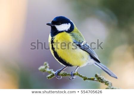 beautiful small bird great tit on bird feeder Stock photo © artush