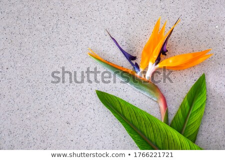 Strelitzia flower and green leaves laying on marble surface. Stock photo © oksanika
