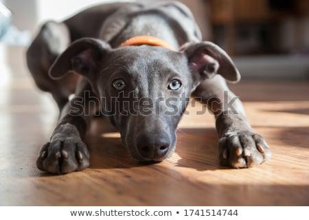ストックフォト: 子犬 · 犬 · 白 · 小さな · 動物