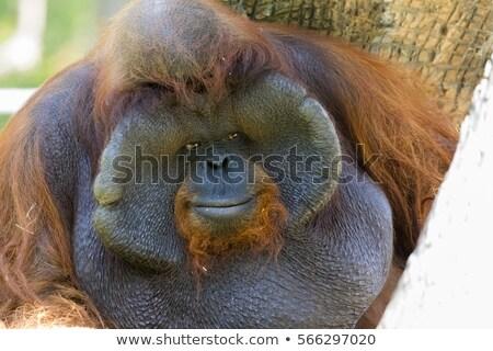 Büyük erkek orangutan yaban hayatı rehabilitasyon merkez Stok fotoğraf © tiero