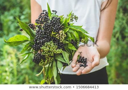 Stock photo: Elderberry