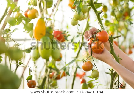 Woman picking tomatoes in her kitchen garden Stock photo © photography33
