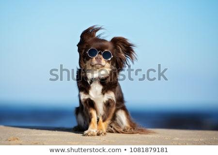 de · pelo · largo · perro · blanco · marrón - foto stock © eriklam
