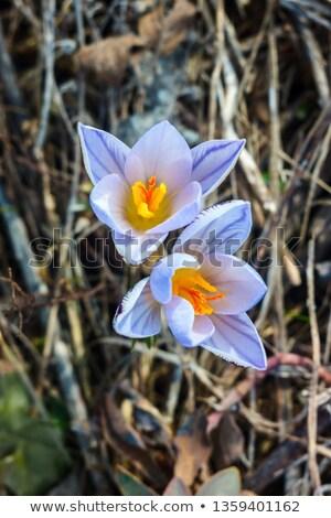 желтый · Iris · горизонтальный · весны · жизни · цвета - Сток-фото © igabriela